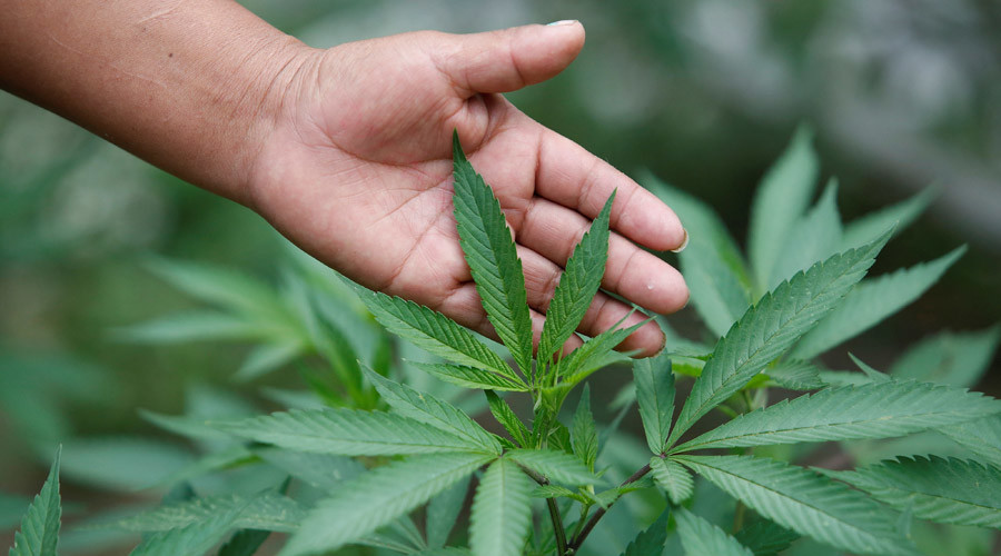 cannabis microsoft