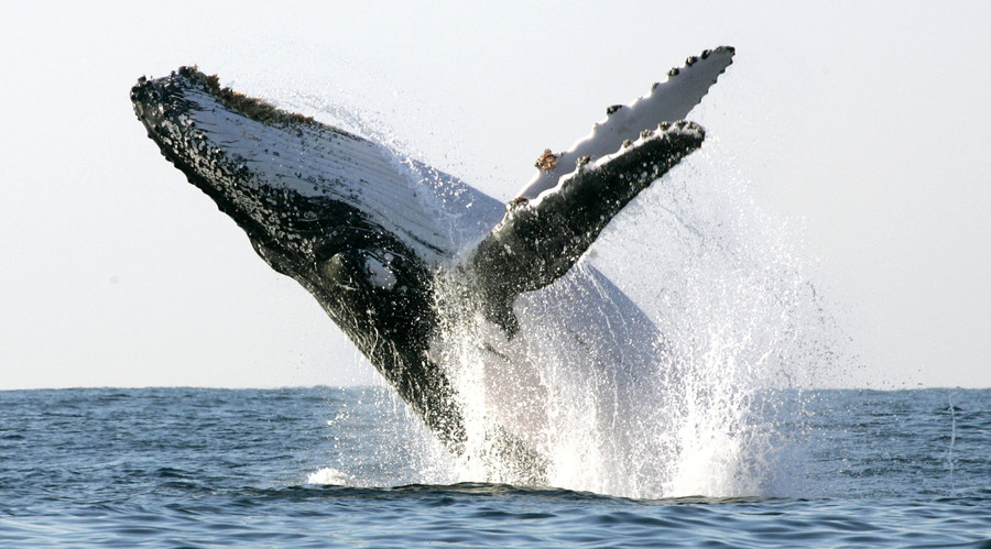 US Navy ordered to protect whales by lowering sonar levels