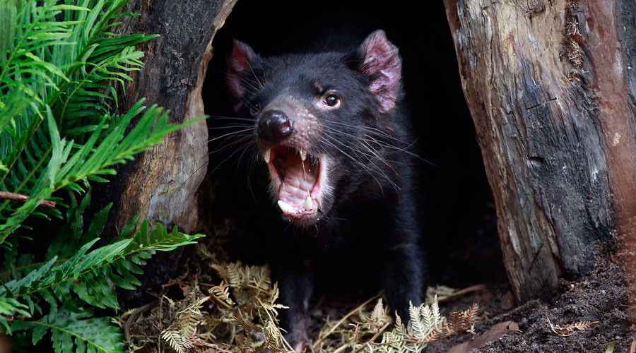 Devil's cousin: Carnivore capable of 'slicing up' animals 5mn yrs ago identified in Australia