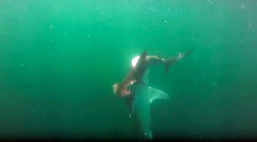 Hammerhead vs tiger shark: Ferocious undersea battle caught on camera (VIDEO)