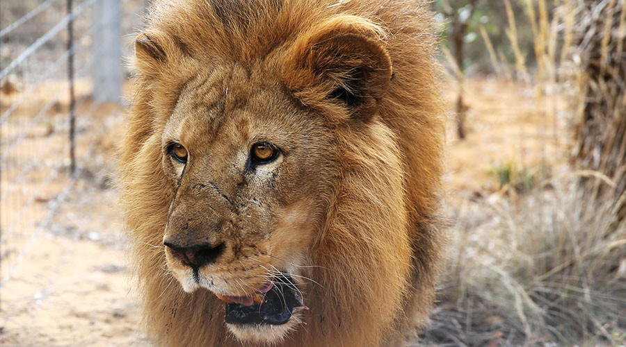 'Lion on the loose': Are big cats really roaming the wilds of Britain?