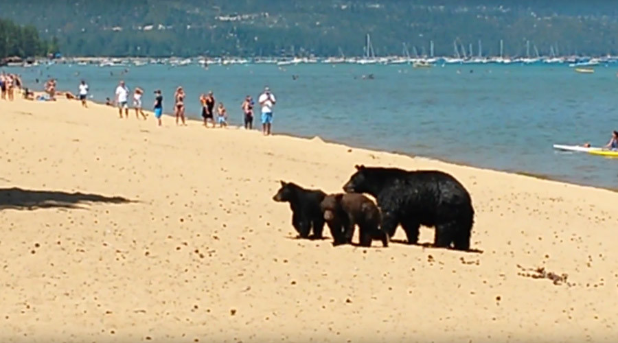 Three bears invade packed Lake Tahoe beach during California drought (VIDEO)