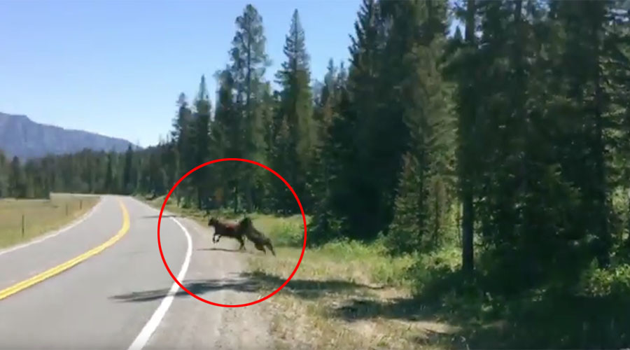 'Grizzly' bear's take down of defenseless cow captured near Yellowstone (VIDEO)