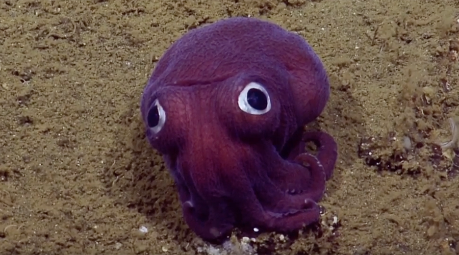 Delighted scientists discover goofy squid (VIDEO)