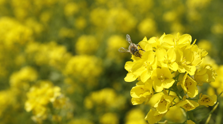 Buzzkill: Neonicotinoid insecticides on oilseed rape lead to bee decline across England, study says