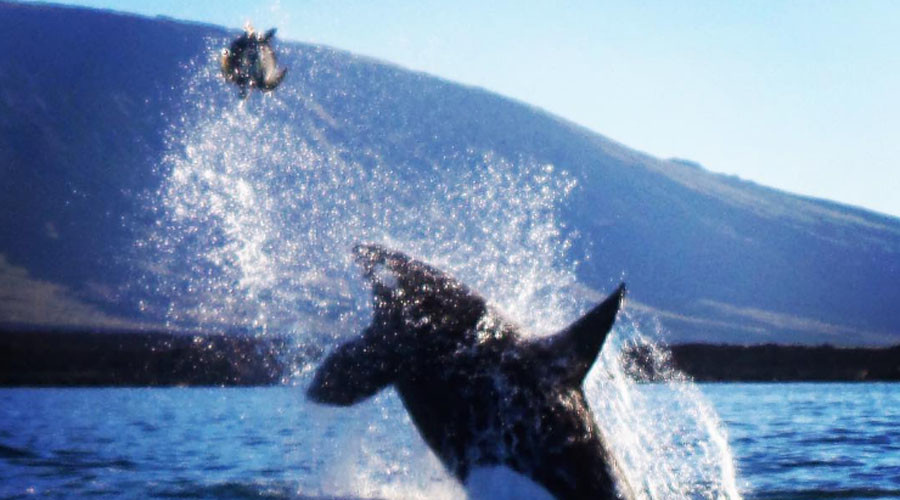 Shell shock: Killer whale stuns tourists with Galapagos turtle attack (VIDEO)