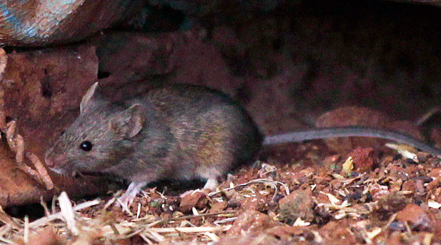 'Super tough' mice could stalk London Underground's night trains