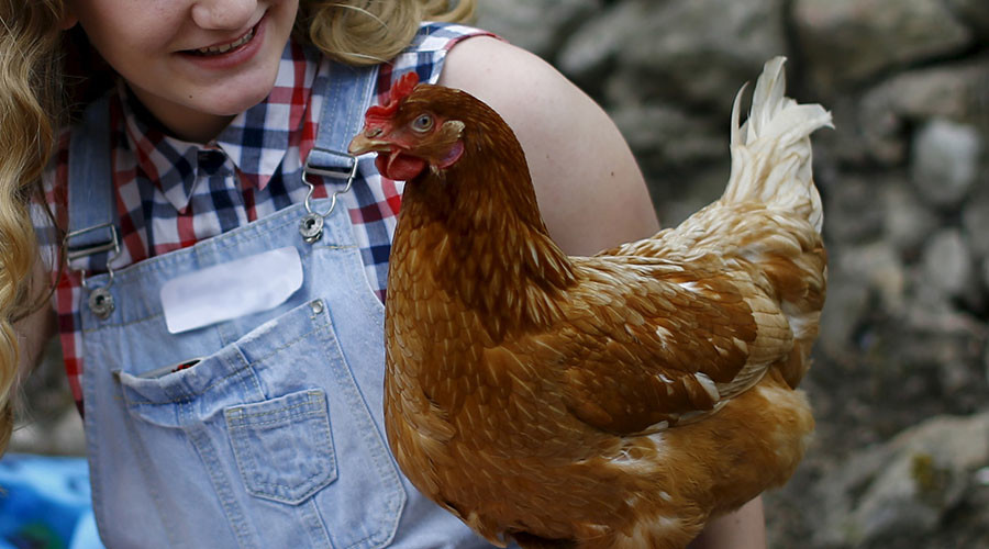 Kissing & cuddling chickens bad for your health — CDC
