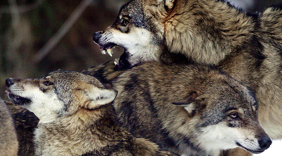 Outrage as Norway plans to cull majority of its wolf population