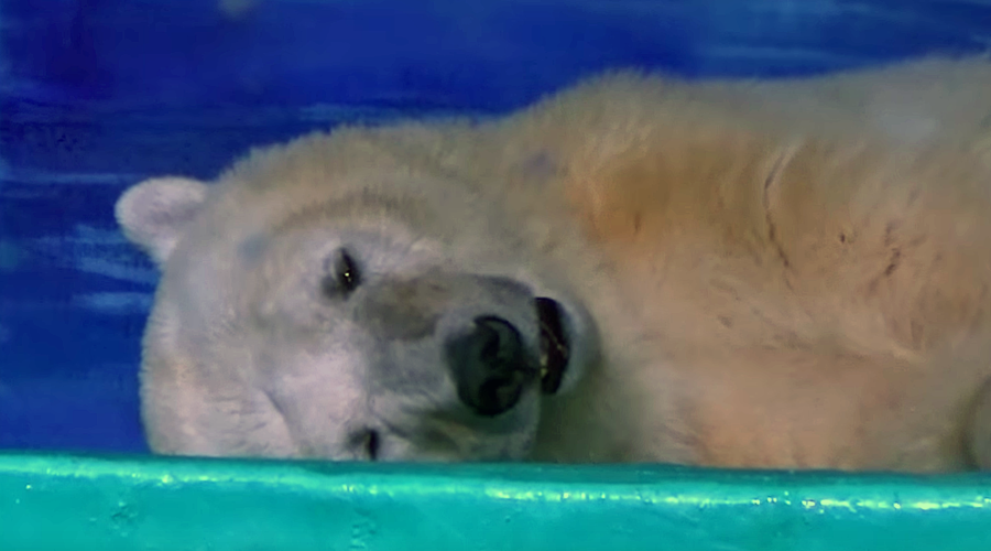 'World's saddest polar bear' offered new home in Britain