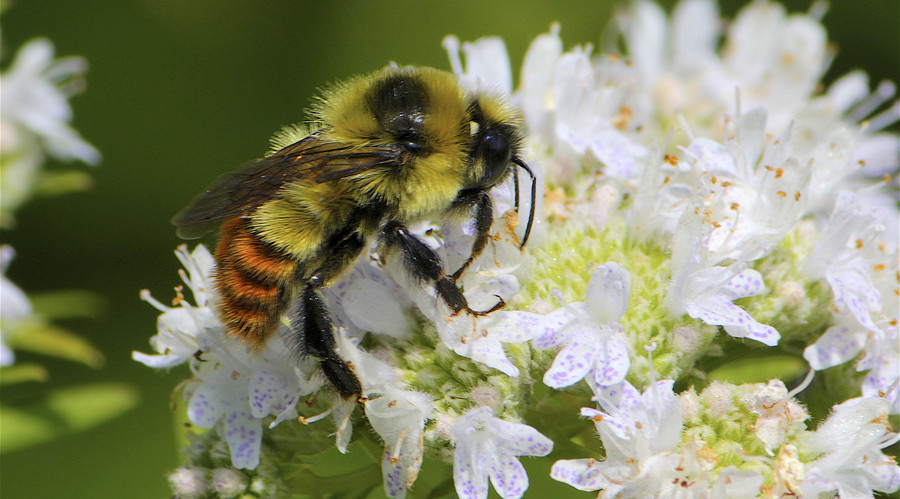 Will bumble bees go the way of the dodo? Endangered status proposed