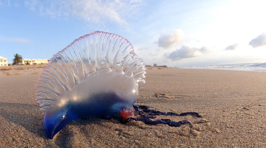 Venomous Portuguese men-of-war invasion leads to swimming ban in Phuket, Thailand
