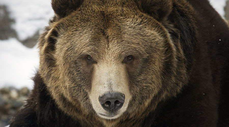 Grin & bear it: Stomach-churning aftermath of savage grizzly attack breaks internet (VIDEO)