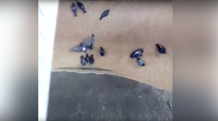 Darwin Awards for birds? Pigeons getting sucked in by industrial grain mill in Russia (VIDEO)
