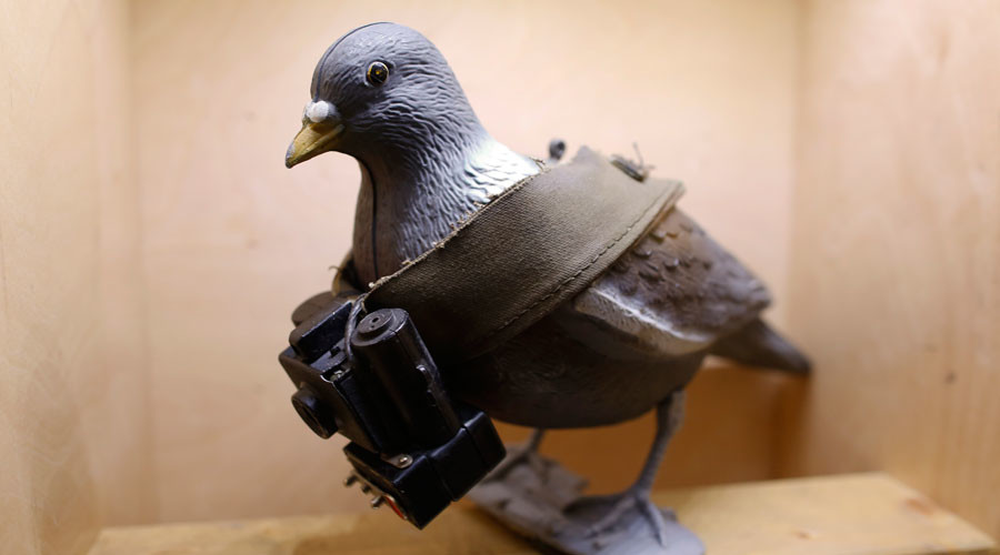 Pakistani 'spy' pigeon with message for Indian PM has wings clipped