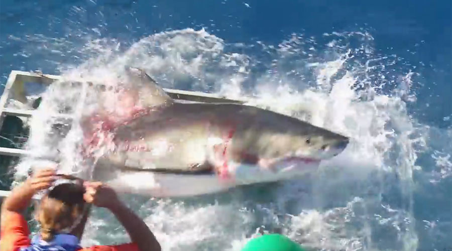 Cage fight: Great white & diver in horrifying struggle after shark overshoots snack (VIDEO)