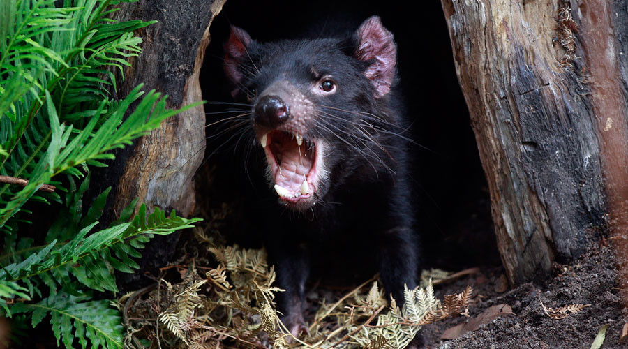 Tasmanian devil's milk could be key to combating drug-resistant superbugs – study