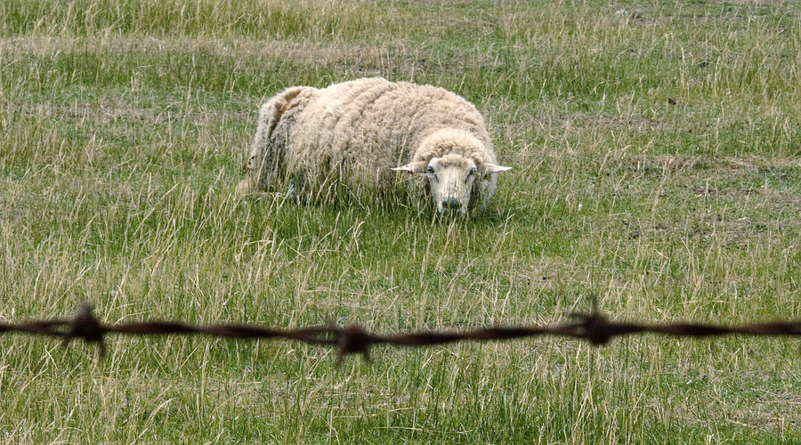 Teen convicted of killing sheep in 'sacrifice' for his father's recovery in Austria