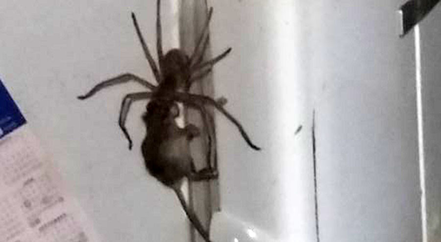 Enormous spider drags mouse by its head in skin-crawling clip (VIDEO)