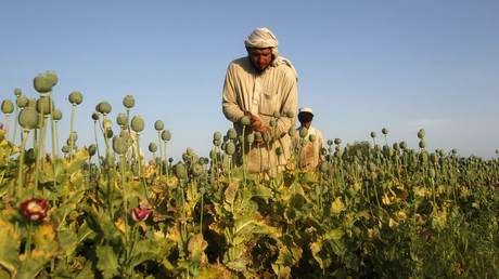 Afghan men work on a poppy field in Jalalabad province. © Parwiz