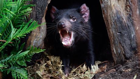 A Tasmanian Devil  © Daniel Munoz