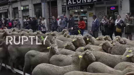 Madrid goes wild as hundreds of sheep parade through streets