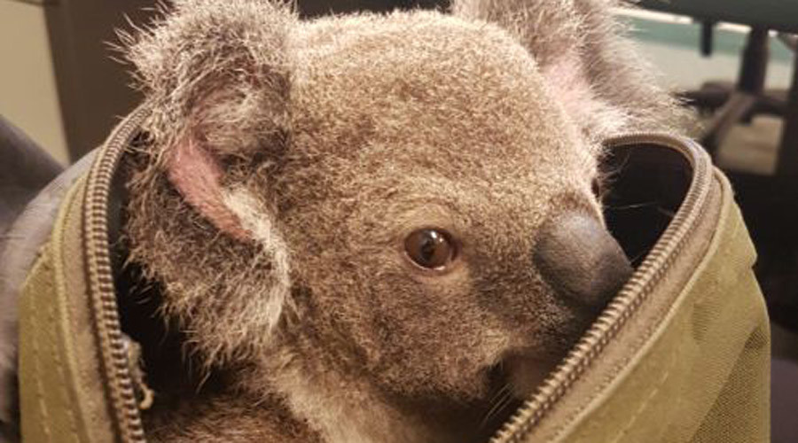 Oz police rescue dehydrated baby koala from motorist's handbag (PHOTOS)
