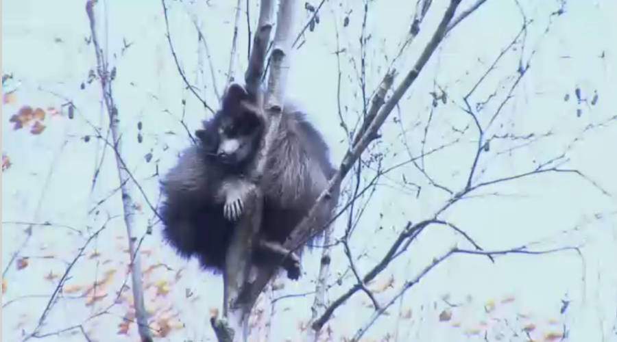 Reckless raccoon flings himself from treetop as rescue bid goes wrong (VIDEO)