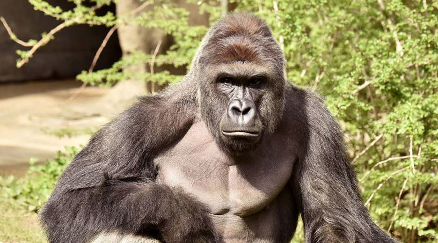 Harambe for president: Thousands reportedly vote for dead gorilla