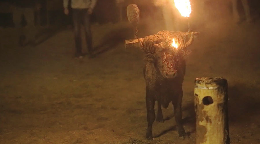 Live bull set on fire in 'barbaric' festival secretly filmed by protesters (GRAPHIC VIDEO)