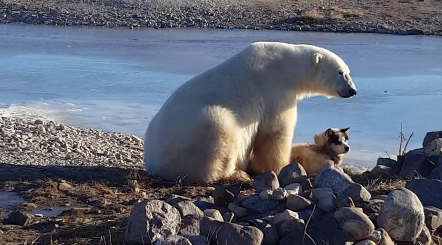 Polar bear cuddles dog – but incredible viral footage masks dark side (VIDEO)