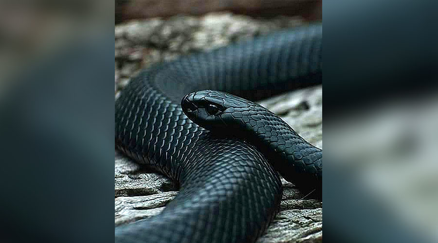 Snakes in a drain: Epic struggle to catch 'monster' cobra in apartment toilet (VIDEO)