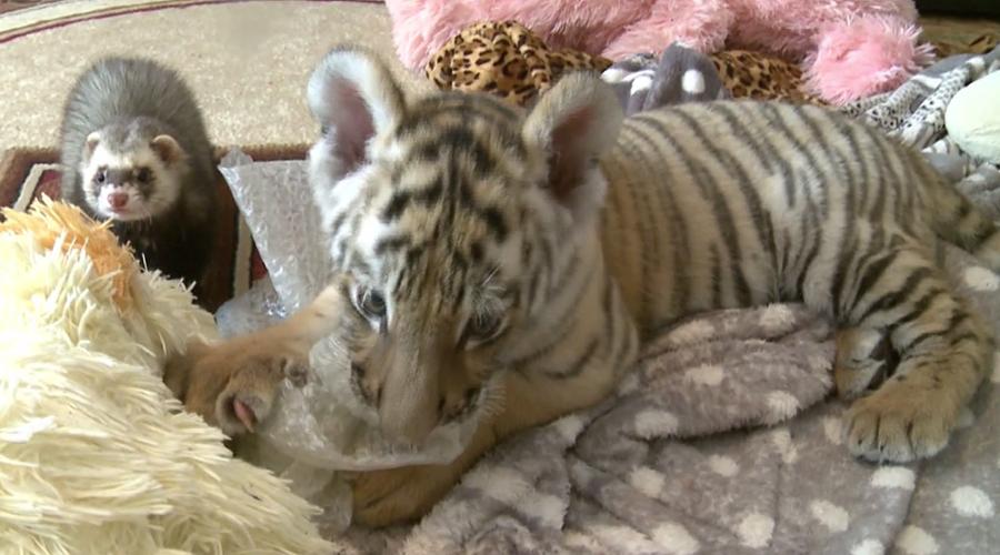 Tiger cub befriends ferret in cutest possible way (VIDEO)