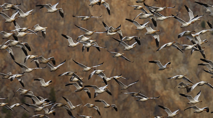 1,000s of geese die after landing in toxic waters of Montana pit mine