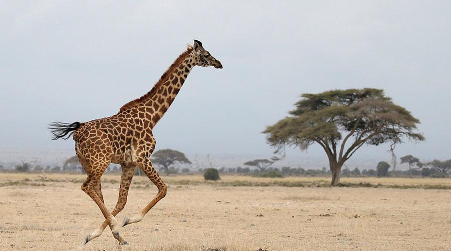 Giraffe population plummets by a third, experts fear for species' survival