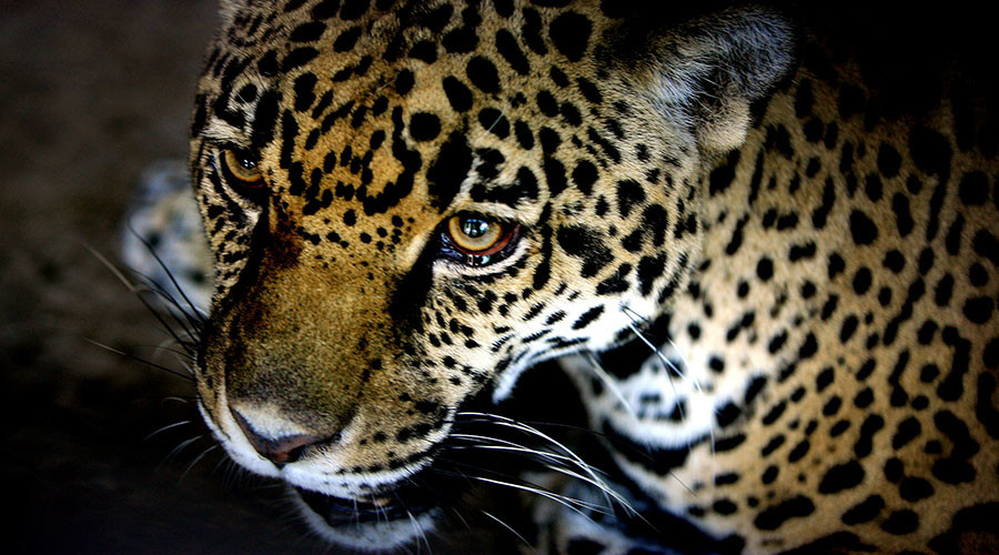 Rare jaguar spotted on prowl in Arizona, doubling population (PHOTO)