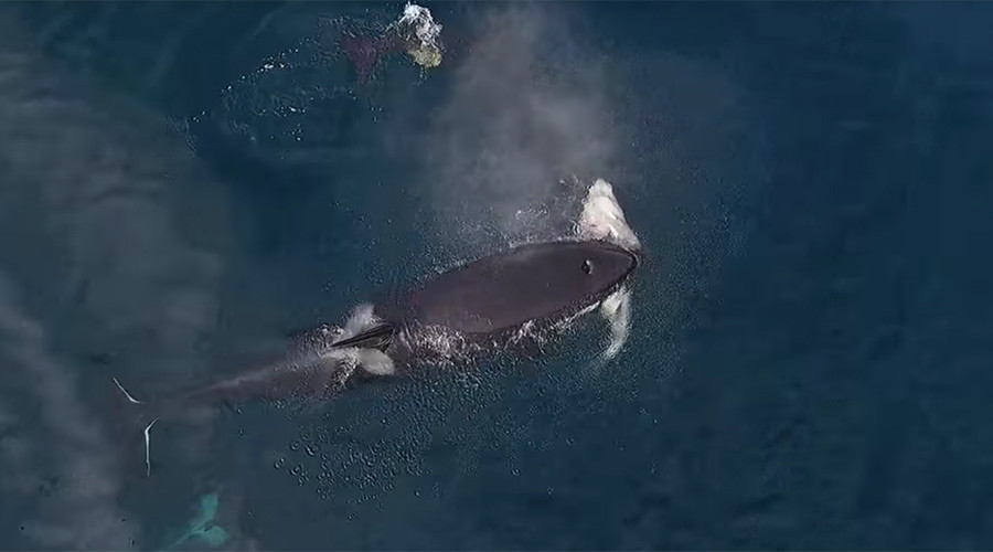 Watch rare killer whal...