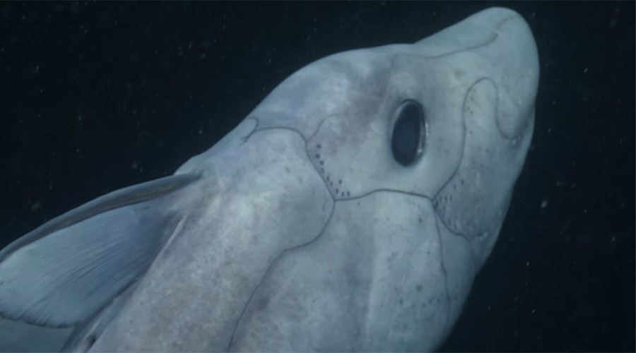 'Ghost shark' caught on camera for first time in Northern Hemisphere (VIDEO)