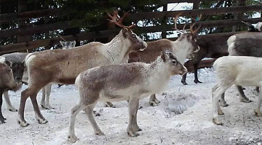 Norwegian preschoolers taken to watch reindeer being slaughtered, skinned (GRAPHIC PHOTOS)