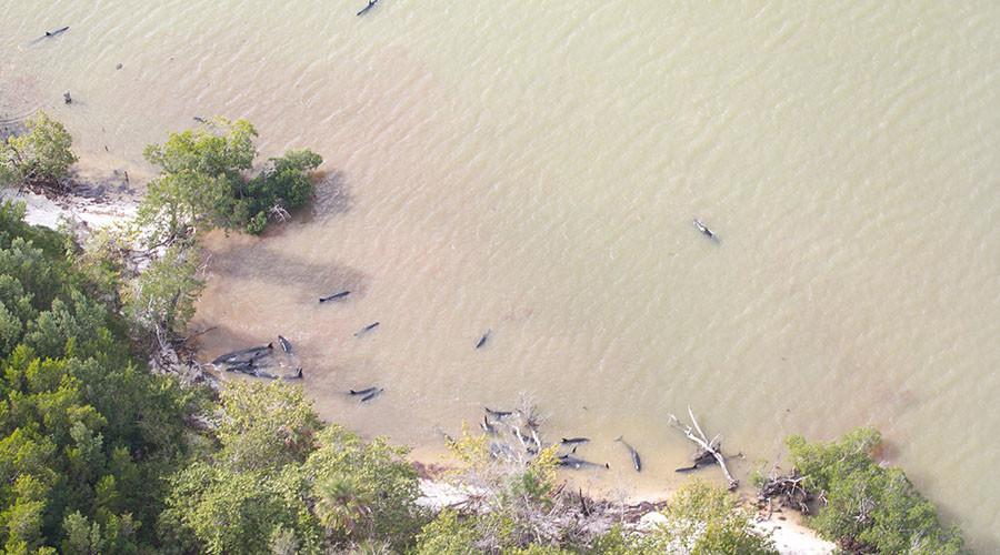 82 false killer whales dead and further 13 stranded off Florida coast (PHOTOS)