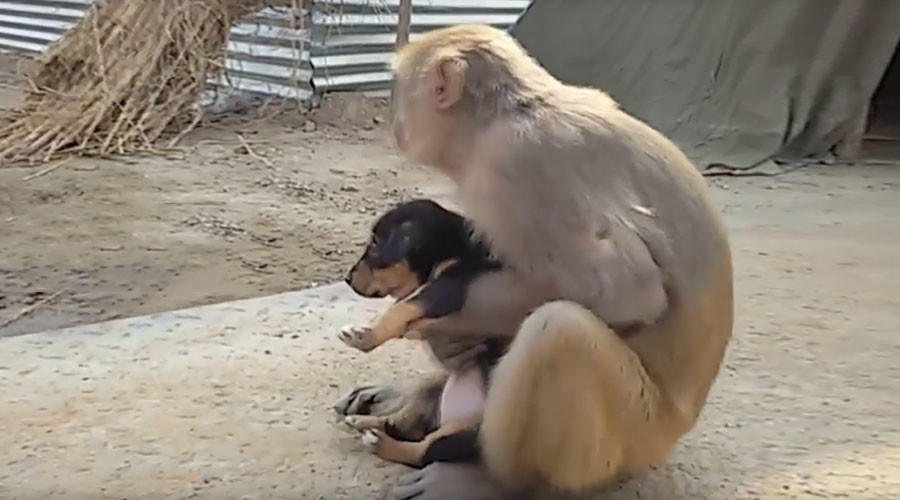 Monkey goes bananas for stray puppy (VIDEO)