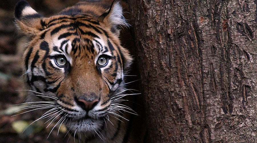 Tourist mauled to death in brutal hour-long tiger attack in Chinese zoo (GRAPHIC VIDEO)