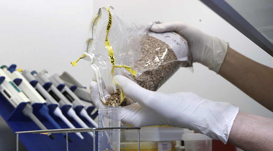 Genetically-modified wheat to be grown in Britain despite environmentalist opposition