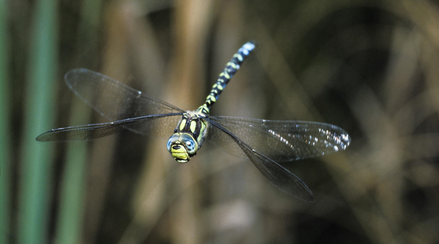 Dragonflies carve up trapped bacteria with miniscule 'nails' in wings – study