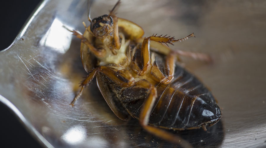 Just like peanuts: 'Tasty' cockroach bread may feed world's population in climate change era (VIDEO)