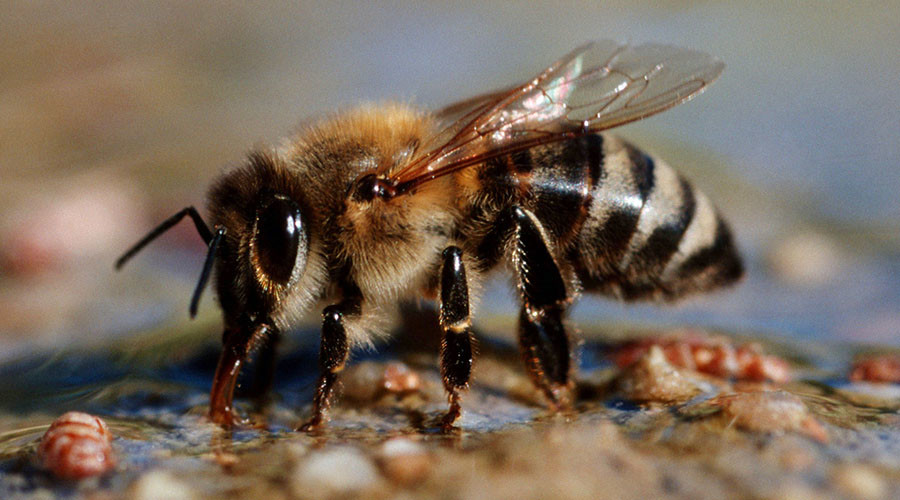 Serious bees-ness: Pollinator drones could replace endangered insects