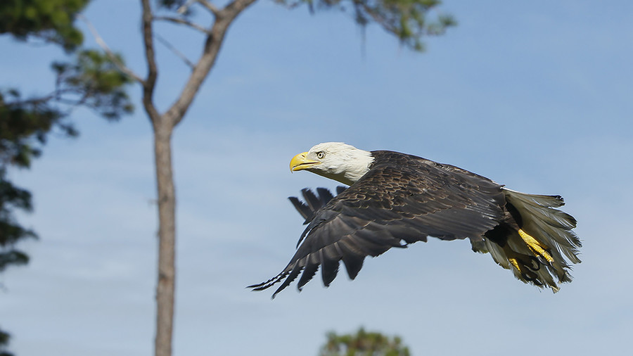Man 'couldn't watch America's symbol die,' risks life to save bald eagle from gator's jaws (PHOTOS)