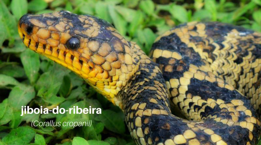 Extremely rare snake emerges in Brazil after 64-year absence