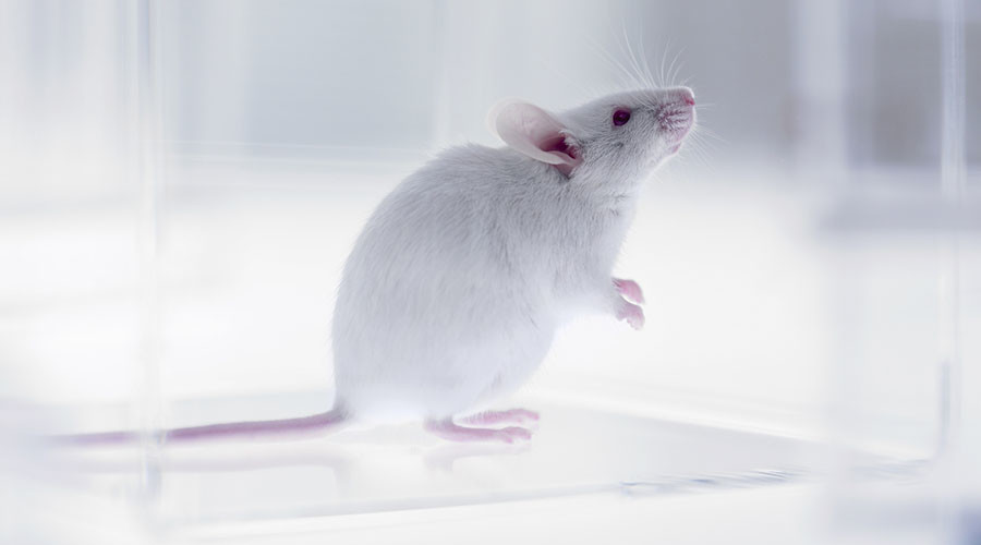 Russian & Swedish scientists slow down mice aging with synthetic antioxidant