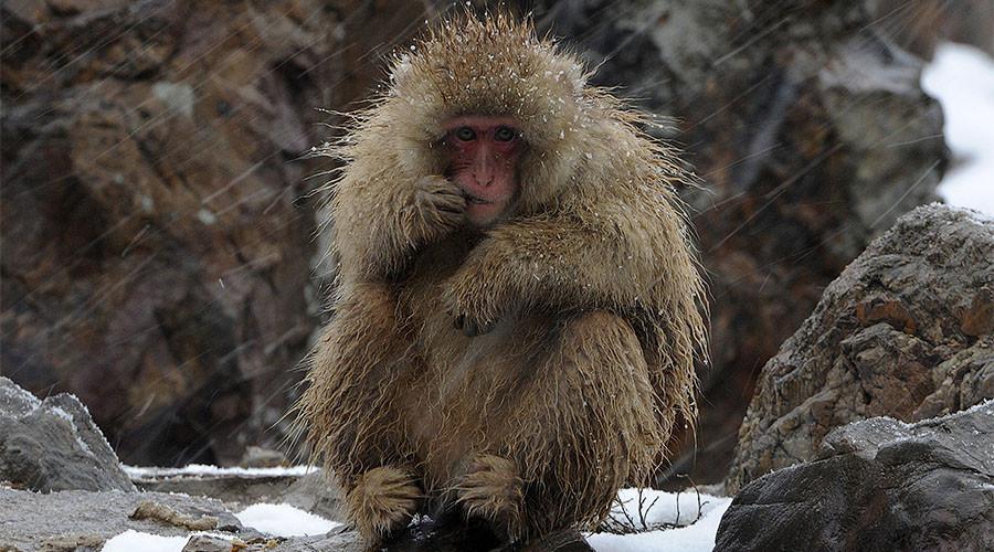 Japanese zoo kills 57 monkeys for having 'invasive alien genes'